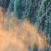 A herring gull (Larus argentatus) flies into the mist from Horeshoe Falls, one of the waterfalls that make up Niagara Falls on the border of New York and Ontario.