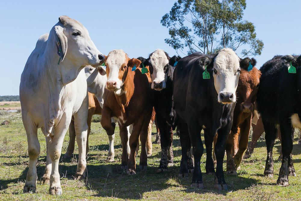 herd of mixed beef cattle at Whetstone, Queensland, Australia