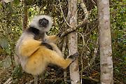 Diademed Sifaka (Propithecus diadema), Mantadia National Park, Madagascar