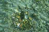 Bluegill (Spawning)<br /> <br /> Todd Pearsons/Engbretson Underwater Photography