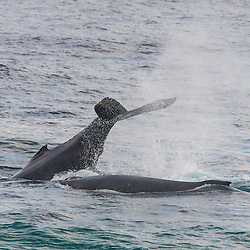 Humpbacked Whale splashing its tail and alongside a second whale, Tsitsikamma Marine Protected Area, Garden Route National Park, Eastern Cape, South Africa,