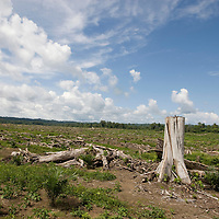 The recently-felled natural forest trees lay amongst the newly planted palm oil trees, on the 600 hectare Laota Plantation, belonging to 'New Britain Oil Palm Limited', near Kimbe, West New Britain Island, Papua New Guinea, Wednesday 24th September 2008.