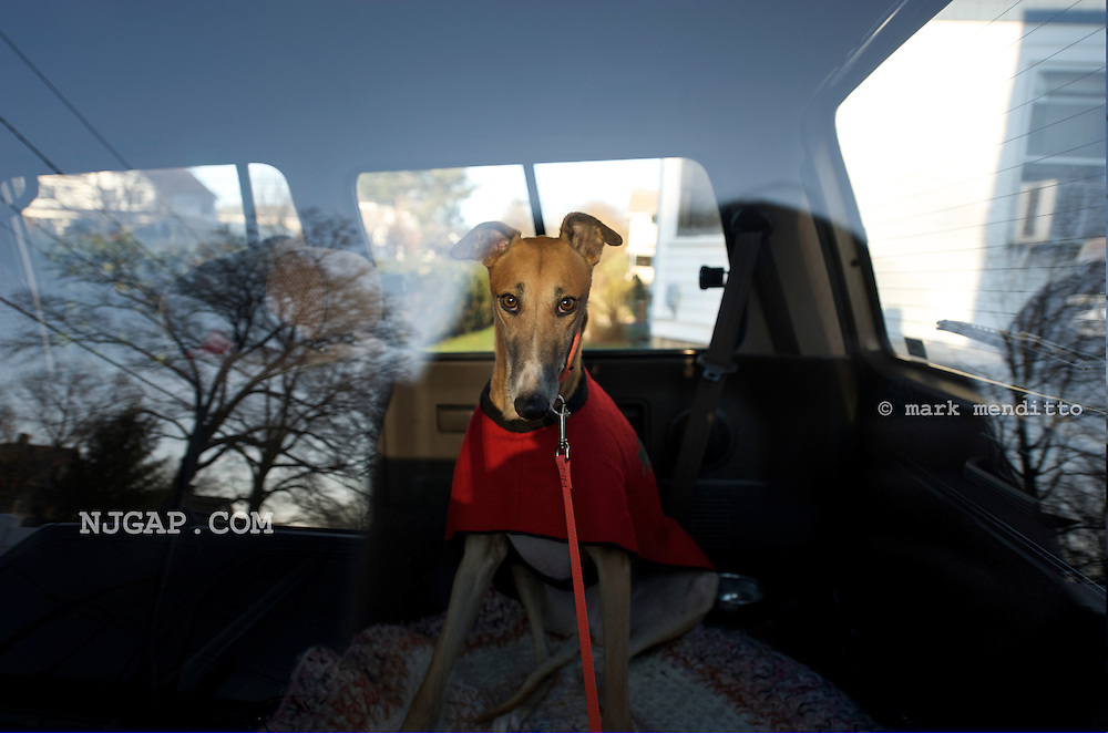 Bella is a retired greyhound rescued for adoption by NJGAP.COM volunteers. In this photo, she is on her way home with a volunteer foster family that will care for her until adoption.