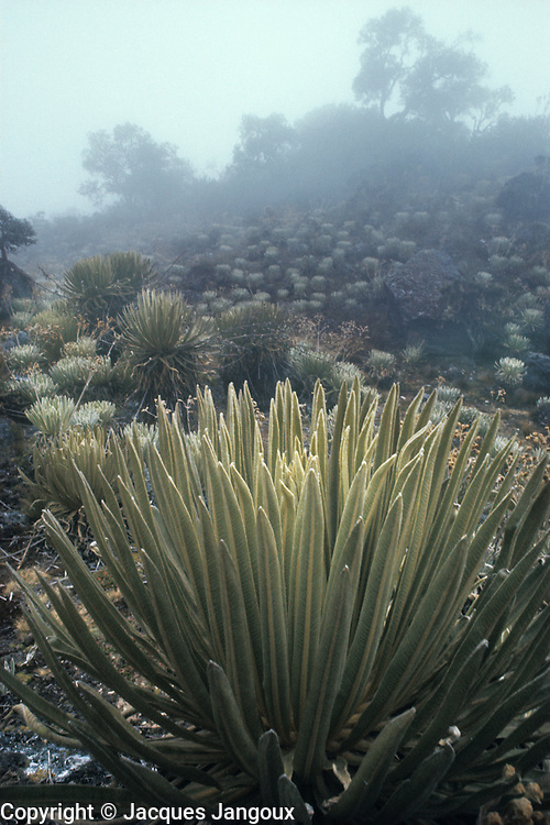 Foggy day among wet tropical alpine vegetation called Paramo in Cordillera de los Andes mountain range , with rosette plant Espeletia sp. Asteraceae in foreground; Merida State, Venezuela.