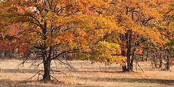 Garry Oak in autumn color near the Klickitat Canyon, Klickitat County,  Washington, USA panorama