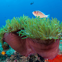 A Pink Anemonefish, Amphiprion perideraion, hovers above an anemone, Pulau Tenggol, Malaysia.