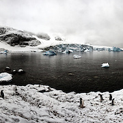 A landscape full of Gentoo penguins in the Antarctic Peninsula.  Gentoo penguins create circular rock nests and the parents share the incubation duty.