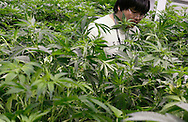 Mike Lottman, grow tech, moves through the marijuana plants in a medical marijuana center in Denver April 2, 2012.  With Colorado voters set in November to decide whether to defy the federal government and legalize marijuana for recreational use under state law, the enforcement division could play a key role in bringing a black market pot trade out of the shadows.  REUTERS/Rick Wilking (UNITED STATES)