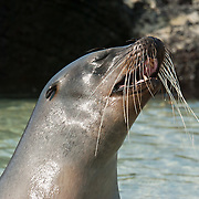 "A Galápagos Sea Lion (Zalophus wollebaeki) barks on Isla Genovesa (or Tower Island), Ecuador, South America. This mammal in the Otariidae family breeds exclusively on the Galápagos Islands and in smaller numbers on Isla de la Plata, Ecuador. Being fairly social, and one of the most numerous species in the Galápagos archipelago, they are often spotted sun-bathing on sandy shores or rock groups or gliding gracefully through the surf. They have a loud ""bark"", playful nature, and graceful agility in water. Slightly smaller than their Californian relatives, Galápagos Sea Lions range from 150 to 250 cm in length and weigh between 50 to 400 kg, with the males averaging larger than females. Sea lions have external ear-like pinnae flaps which distinguish them from their close relative with whom they are often confused, the seal. When wet, sea lions are a shade of dark brown, but once dry, their color varies greatly. The females tend to be a lighter shade than the males and the pups a chestnut brown. In 1959, Ecuador declared 97% of the land area of the Galápagos Islands to be Galápagos National Park, which UNESCO registered as a World Heritage Site in 1978. Ecuador created the Galápagos Marine Reserve in 1998, which UNESCO appended in 2001."