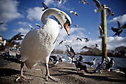 Frankfurt | 25 Feb 2015<br /> <br /> A white swan enjoys the winter sun at the river main in the german city of Frankfurt.<br /> <br /> photo &copy; peter-juelich.com