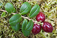 Closeup of Low-Bush Cranberry fruit in Chugach State Park, Eagle River in Southcentral Alaska. Fall. Afternoon.