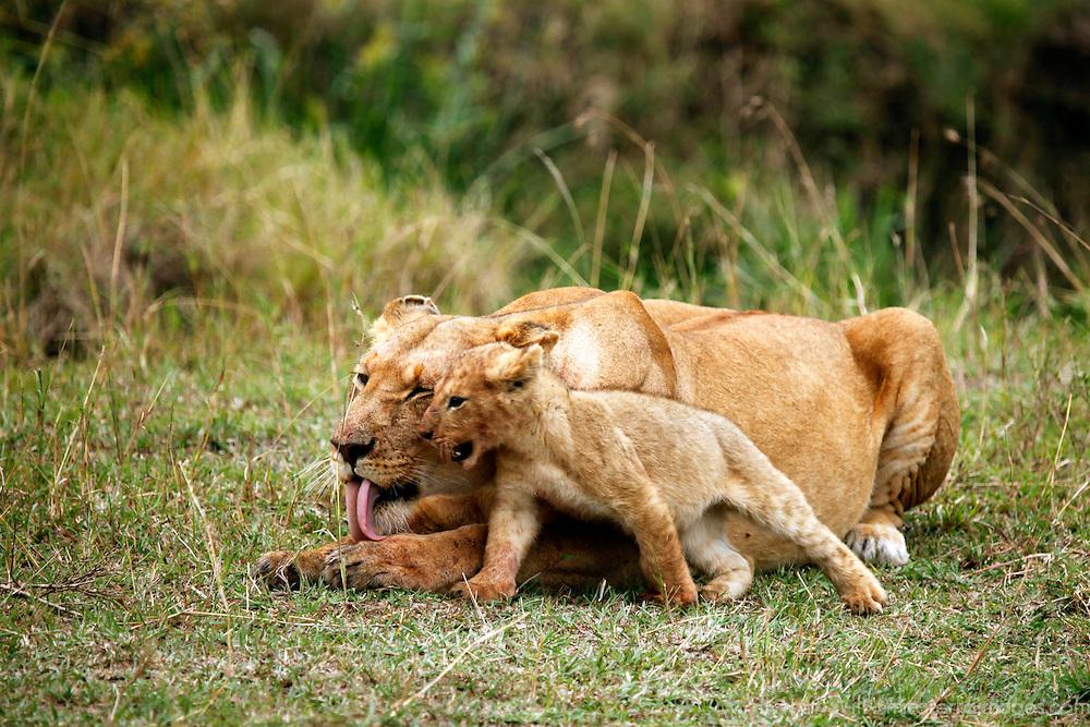 Africa, Kenya, Maasai Mara. A lioness and her playful cub.