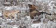Try as he might, this sub-adult grizzly cannot get a wary coyote to let down his guard long enough to participate in an extended play session.