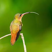 Cinnamon Hummingbird <br /> Amazilia rutila <br /> La Bajada, Nayarit, Mexico <br /> 8 June      Adult with tongue extended.       Trochilidae