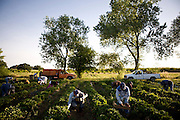 Farmworkers pick strawberries at Terra Firma Farm in Winters, CA May 5, 2010.