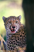 Image of a cheetah (Acinonyx jubatus) at the Masai Mara National Reserve in Kenya, Africa