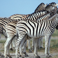 Namibia, Etosha National Park, Plains Zebra herd in desert (Equus burchelli)