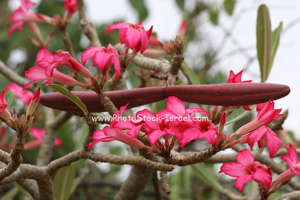 Africa, Ethiopia,Oromia Region, Bale Mountains, Flowering Desert Rose (Adenium obesum),