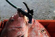 Huachinangos en el proceso de lavado, en la Cooperativa de Pescadores Rosita en Puerto Vallarta.