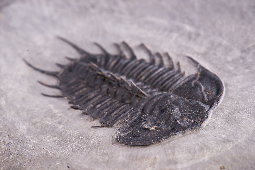 This is a splendid Olenoides nevadensis (total length: 75mm) from the Middle Cambrian Marjum Formation of Utah; wth spines and bite marks along the right side.