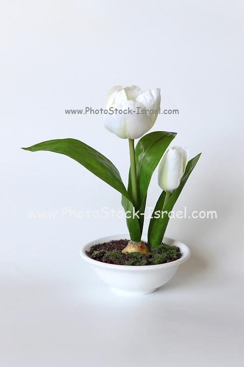 White Tulip Silk flower on white background