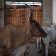 Cattle runs freely in the narrow streets in the rural villages of Mithi. Tharparker, Pakistan 2010