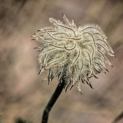Macro photograph of pasque flower or Easter flower seed head whirling in the wind. Background is beige blurred setting.
