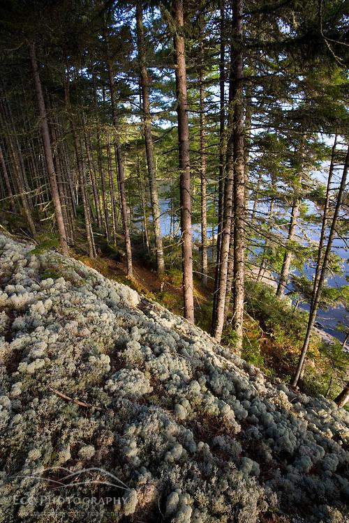 Reindeer lichen covers a boulder on Sugar Island in Maine USA
