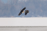 Bald Eagles Onondaga Lake Fishing