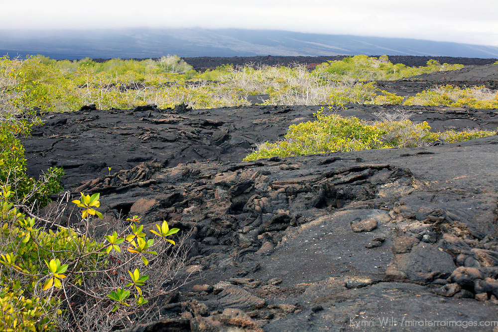 South America, Ecuador, Galapagos Islands. Volcanic landscape of Fernandina Island.
