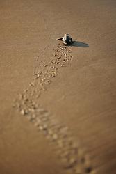 Loggerhead turtle (Caretta caretta)   Unechte Karettschildkröte (Caretta caretta)