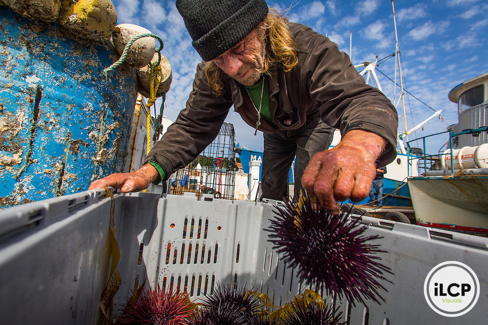 Kenny Jeavons has been working with Pete Halmay since 1981. In 1995 he was almost killed when fumes from painting the boat ignited and caught him on fire. He no longer dives, but now works the boat while Pete dives. California Sea Urchins (Strongylocentrotus purpuratus). Made on assignment in San Diego for Ecotrust and Community Fisheries Network, photographing Sea Urchin fishermen and the San Diego Fisherman's Working Group, including local seafood culture and the Tuna Harbor Dockside Market.