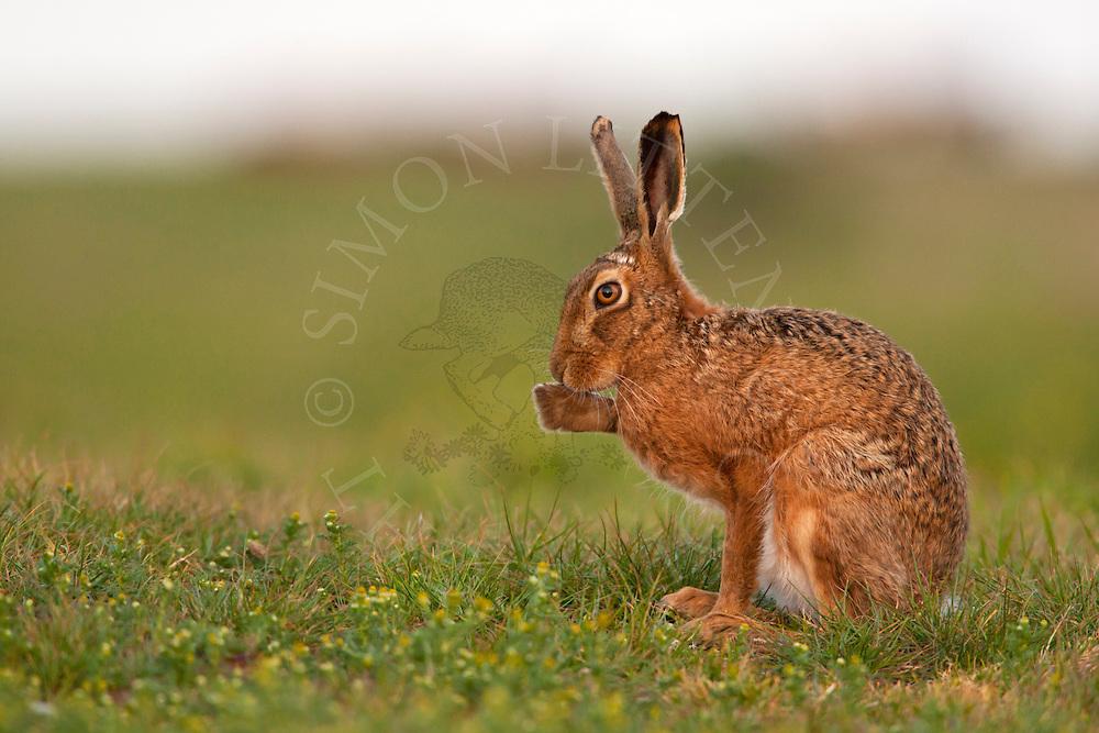 European Hare (Lepus europaeus) adult, sitting on grass track grooming, Norfolk, England