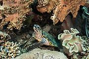 Hawksbill Turtle (Eretmochelys imbricata)<br /> Raja Ampat<br /> West Papua<br /> Indonesia<br /> Critically Endangered