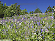 Lupines, Sweden, Soedermanland
