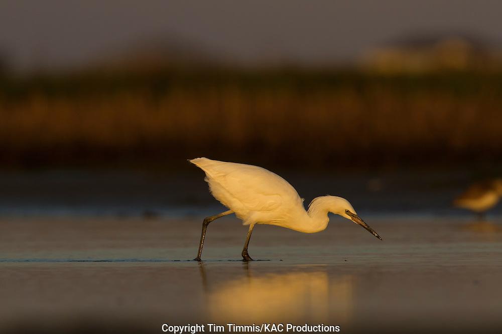 Reddish Egret, white morph, Egretta rufescens, Bolivar Flats, Texas gulf coast, fishing, golden light