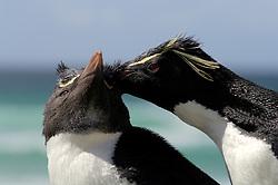 Diese Felsenpinguine (Eudyptes chrysocome) haben sich erst kürzlich als Paar gefunden und noch kein Nest angelegt. |This pair of rockhopper penguins (Eudyptes chrysocome) has just met and did not start nesting yet.