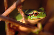 Mediterranean Tree Frog in Tejo International Natural Park