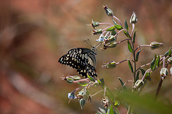 A butterfly at Gantheume Point in Broome.