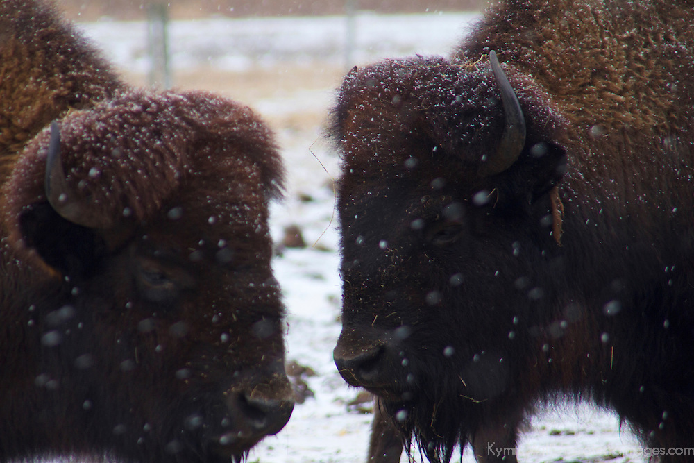 North America, USA, Illinois, Batavia. American Bison in snow at Fermilab, Batavia, Illinois.