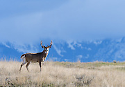 White-tail Buck (Odocoileus virginianus) in front of cloud covered mountains, Western North America