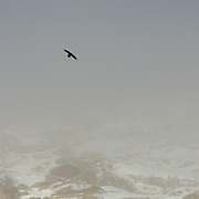 Common Raven (Corvus corax).Sierra de Gredos.SPAIN