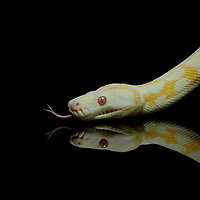 Albino Darwin Carpet Python (Morelia spilota variegata) on black with reflection