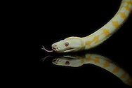 Albino Darwin Carpet Python (Morelia spilota variegata) on black with reflection