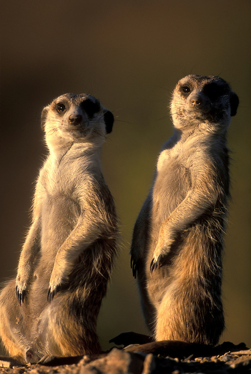 Africa, Namibia, Keetmanshoop, Meerkats (Suricate suricatta) stand as sentries by entrance to warren in Namib Desert