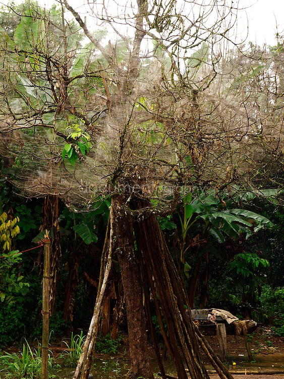 A tree covered in spider web, Kingsville, Liberia.