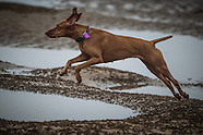 Norfolk Beach Vizsla Day