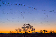 Snow geese in flight at dawn; Bosque del Apache National Wildlife Refuge, New Mexico.