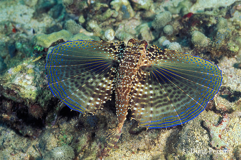 flying gurnard, Dactylopterus volitans, with pectoral fins spread to display startle coloration, St. Vincent or Saint Vincent, West Indies ( Eastern Caribbean Sea )