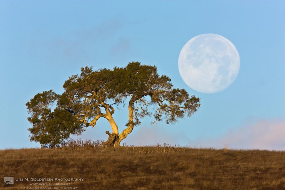 Perigee Moon & California Oak near the Monterey coast, California